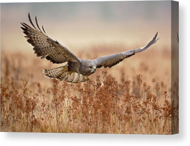 Common Buzzard Canvas Print featuring the photograph Common Buzzard by Milan Zygmunt