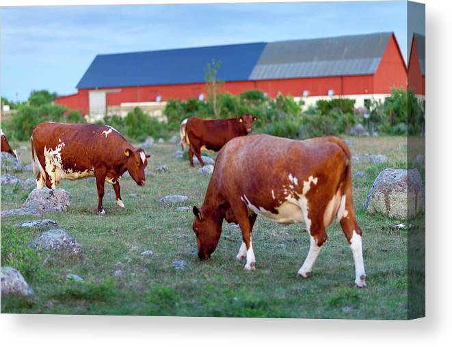 Sweden Canvas Print featuring the photograph Cows Grazing On Pasture by Johner Images