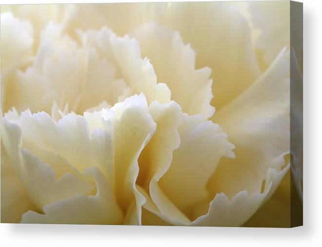 Netherlands Canvas Print featuring the photograph Cream Coloured Carnation, Close-up by Roel Meijer