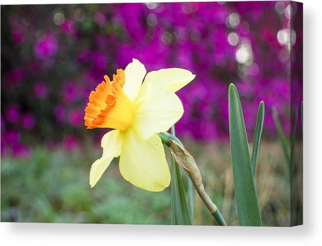 Daffodil Canvas Print featuring the photograph Daffodil by Heather S Huston