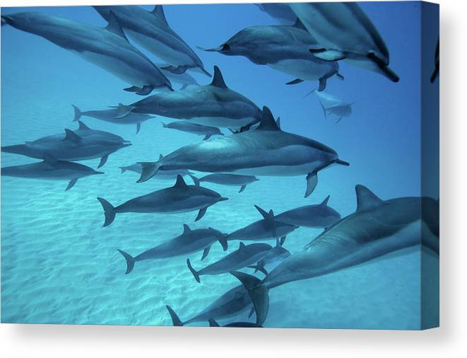 Underwater Canvas Print featuring the photograph Dolphins Spinners by M Swiet Productions