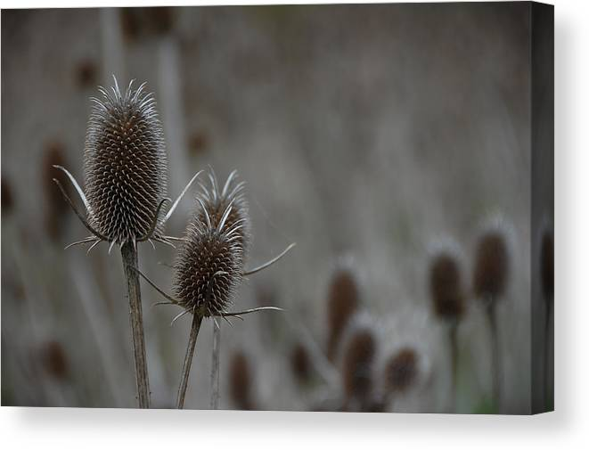 Darin Volpe Nature Canvas Print featuring the photograph Pop Goes The Teasel - Santa Clara County, California by Darin Volpe