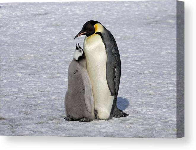 Flpa Canvas Print featuring the photograph Emperor Penguin And Chick Snow Hill Isl by Roger Tidman