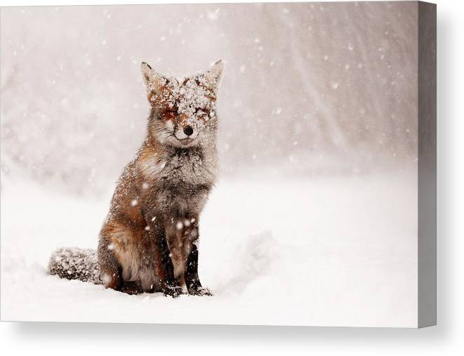 Fox Canvas Print featuring the photograph Fairytale Fox _ Red Fox in a Snow Storm by Roeselien Raimond