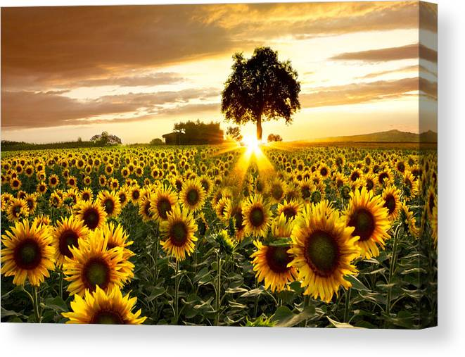Appalachia Canvas Print featuring the photograph Fields of Gold by Debra and Dave Vanderlaan