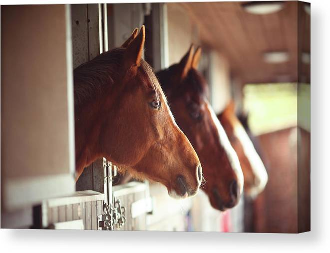 Horse Canvas Print featuring the photograph Four Horses In Stables by Olivia Bell Photography