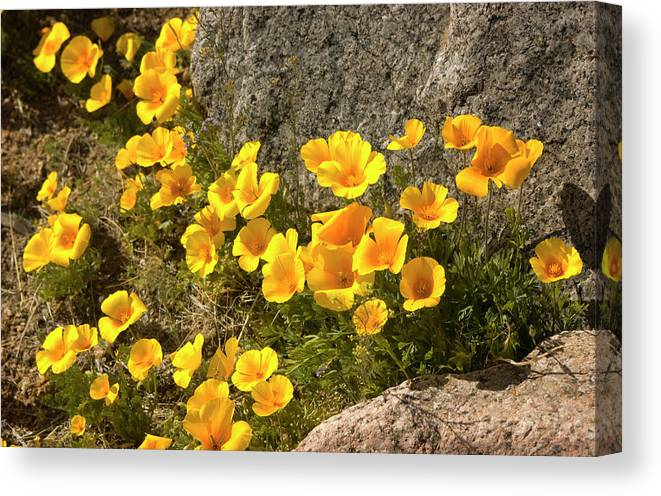 Chihuahua Desert Canvas Print featuring the photograph Golden Poppies Among Rocks by Elflacodelnorte