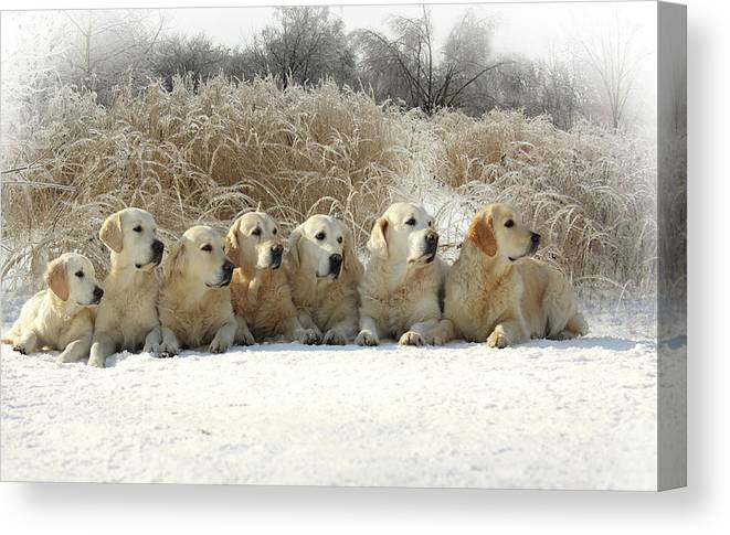Pets Canvas Print featuring the photograph Golden Retrievers by Sergey Ryumin
