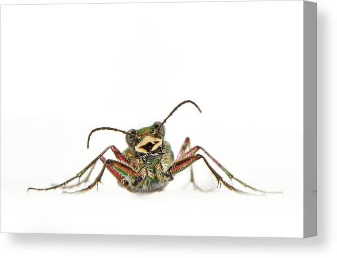 White Background Canvas Print featuring the photograph Green Tiger Beetle by Robert Trevis-smith