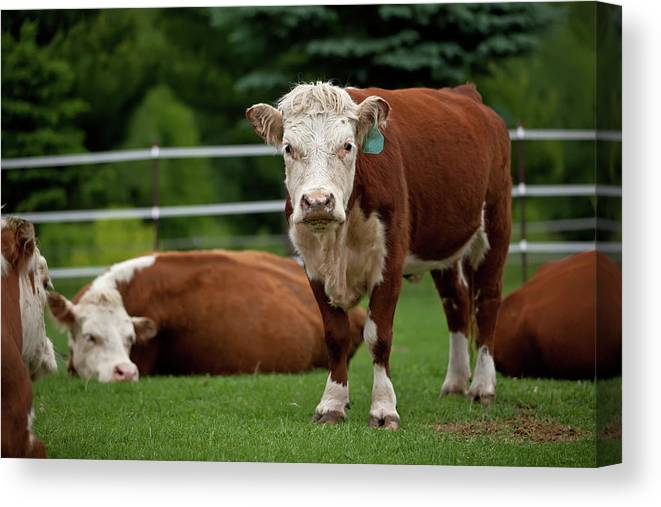 Grass Canvas Print featuring the photograph Hereford Cows In Green Pasture by Emholk