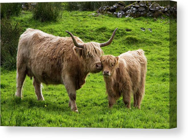 Horned Canvas Print featuring the photograph Highland Cattle And Calf by John Short / Design Pics