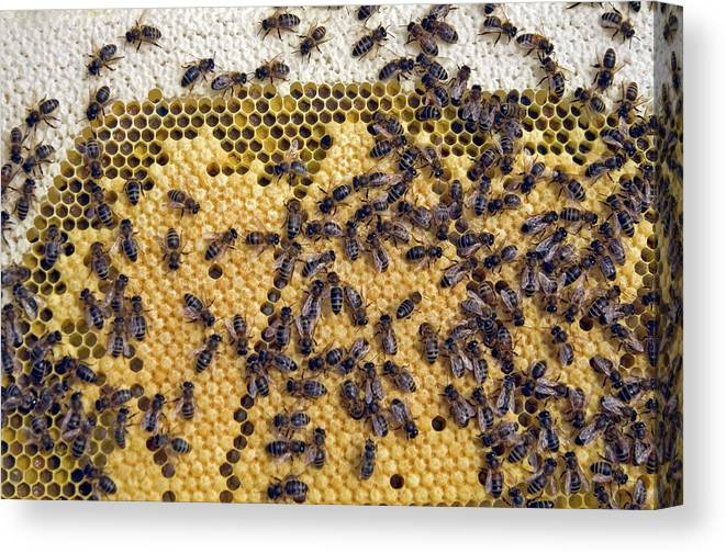 Apis Mellifera Canvas Print featuring the photograph Honeybee Brood Frame by Simon Fraser/science Photo Library