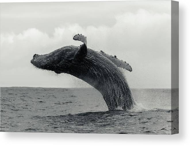 Underwater Canvas Print featuring the photograph Humpback Whale Breaching Against A by By Wildestanimal