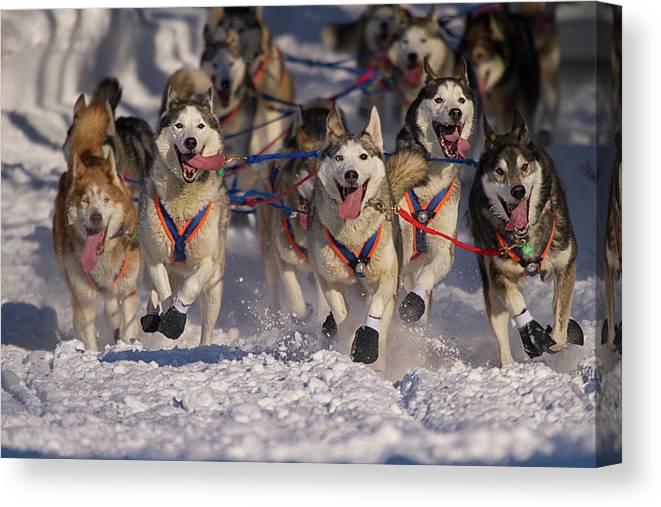 Snow Canvas Print featuring the photograph Iditarod Huskies by Alaska Photography