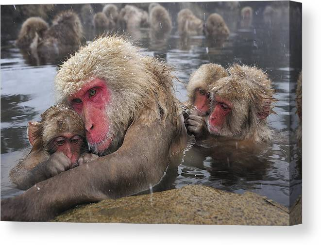 Thomas Marent Canvas Print featuring the photograph Japanese Macaque Grooming Mother by Thomas Marent