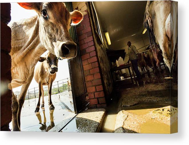 Mature Adult Canvas Print featuring the photograph Jersey Cows On An Organic Dairy Farm by Matt Mawson