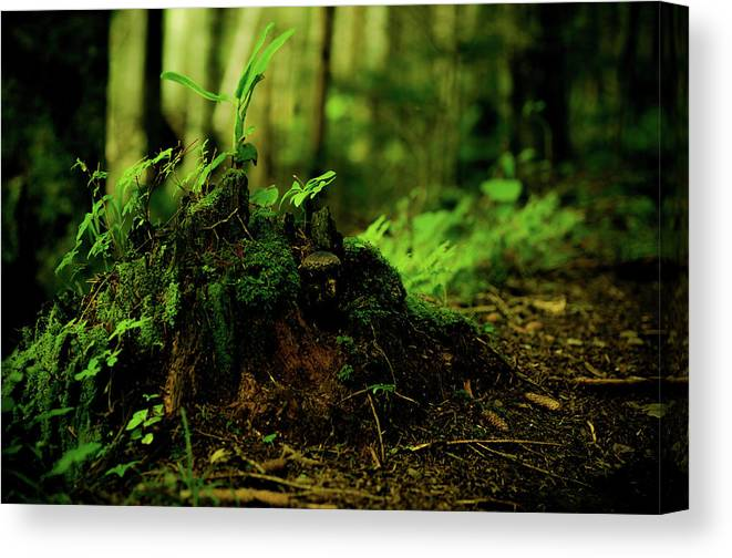 Hokkaido Canvas Print featuring the photograph Leaf Bud by Plasticboystudio