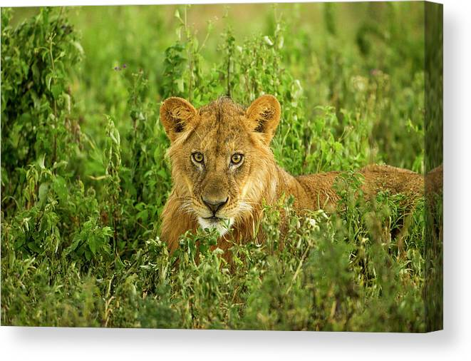 Grass Canvas Print featuring the photograph Lion, Ngorongoro Conservation Area by Paul Souders