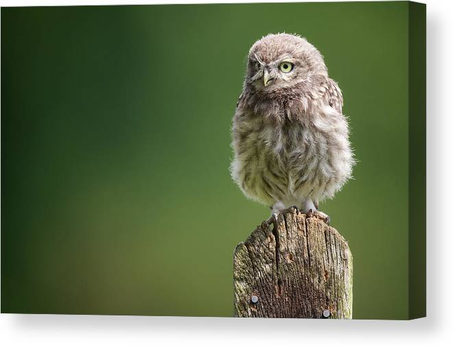 Owlet Canvas Print featuring the photograph Little Fuzzy by Markbridger