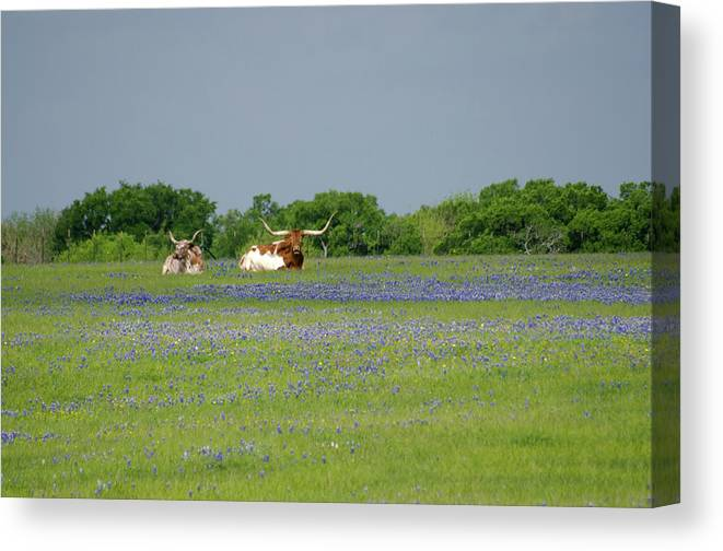 Horned Canvas Print featuring the photograph Longhorns And Bluebonnets by Linda Trine