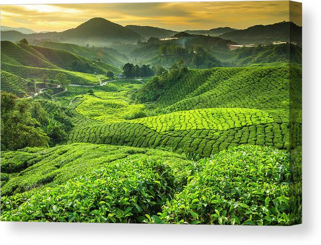 Cameron Highlands Canvas Print featuring the photograph Malaysia, Pahang, Cameron Highlands by Cescassawin