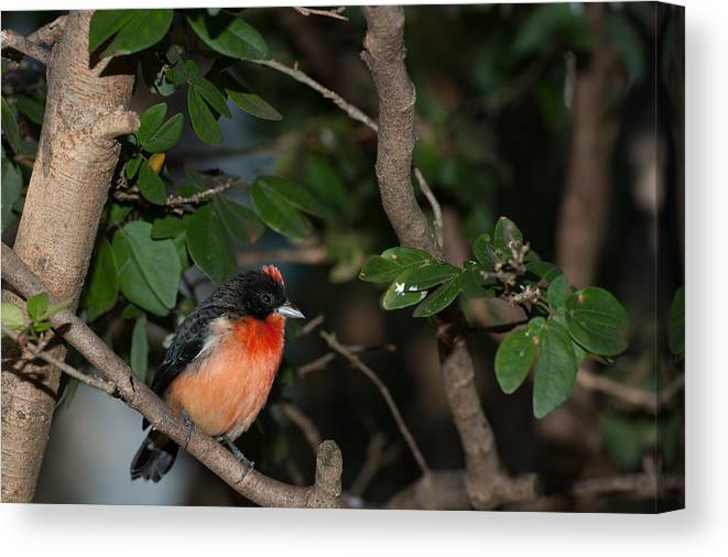 Bird Canvas Print featuring the photograph Mohawk by Paul Johnson