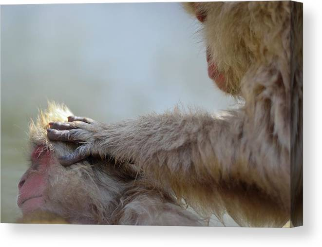 Animal Themes Canvas Print featuring the photograph Monkey Head Massage by Electravk