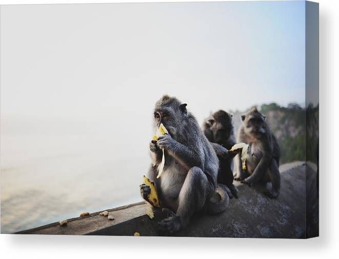 In A Row Canvas Print featuring the photograph Monkeys Eating Bananas by Carlina Teteris