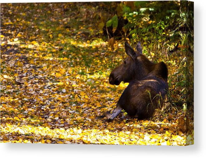 Canvas Print featuring the photograph Moose by Richard Jack-James