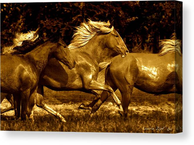 A Herd Of Paso Finos Run In A Pasture On A Ranch Near Santa Fe Canvas Print featuring the photograph Morning Run by Lourie Zipf