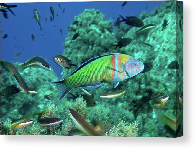 Underwater Canvas Print featuring the photograph Ornate Wrasse by Gerard Soury