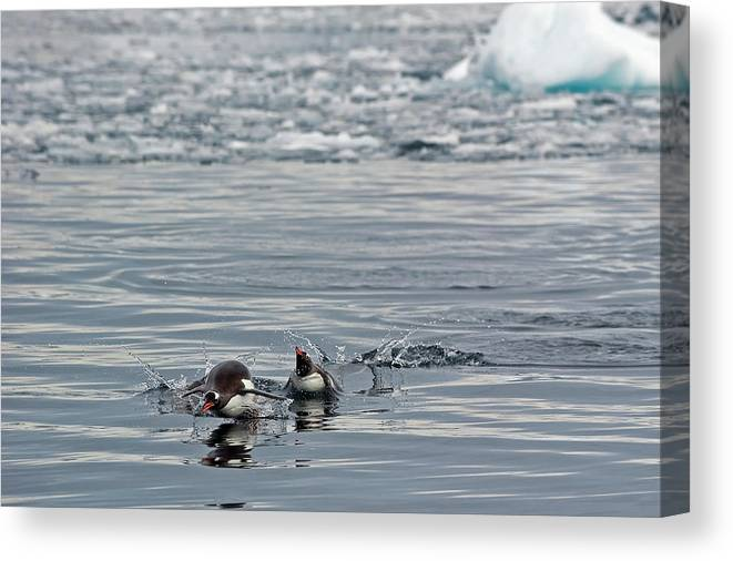 Iceberg Canvas Print featuring the photograph Penguins In The Water by Jim Julien / Design Pics