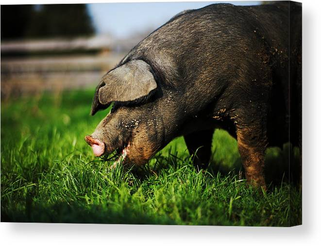 Pig Canvas Print featuring the photograph Pig Eating by Jimss