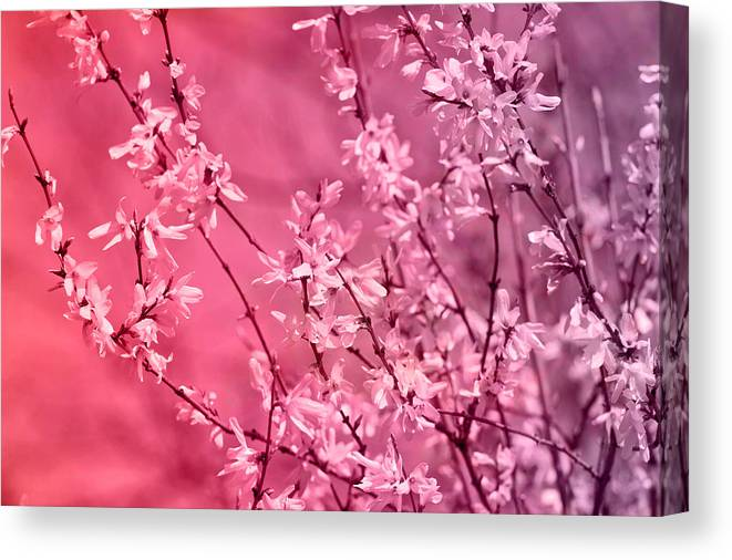 Pink Forsythia Canvas Print Canvas Art By Pati Photography