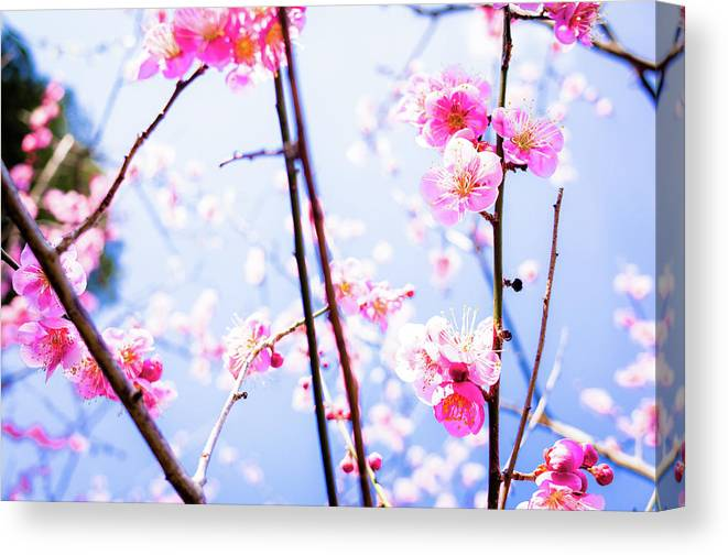 Plum Canvas Print featuring the photograph Plum Blossoms In Bloom by Marser