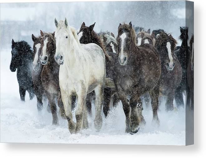 Horse Canvas Print featuring the photograph Populations Of Horses by Makieni's Photo