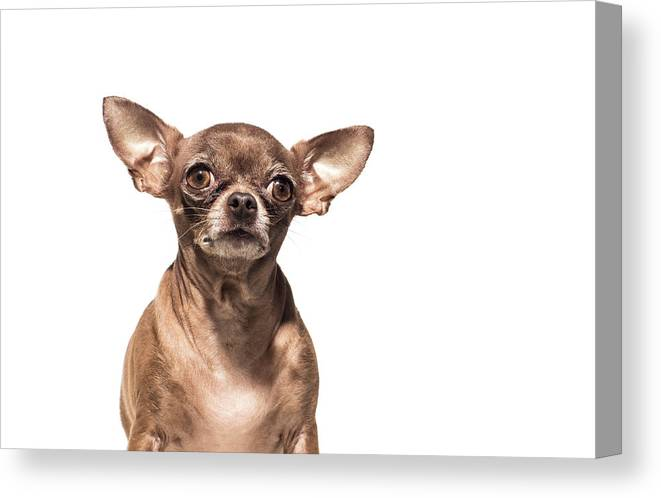 Pets Canvas Print featuring the photograph Portrait Of A Chocolate Chihuahua - The by Amandafoundation.org
