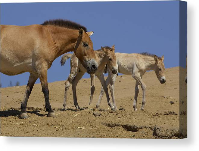 Feb0514 Canvas Print featuring the photograph Przewalskis Horse With Two Foals by San Diego Zoo