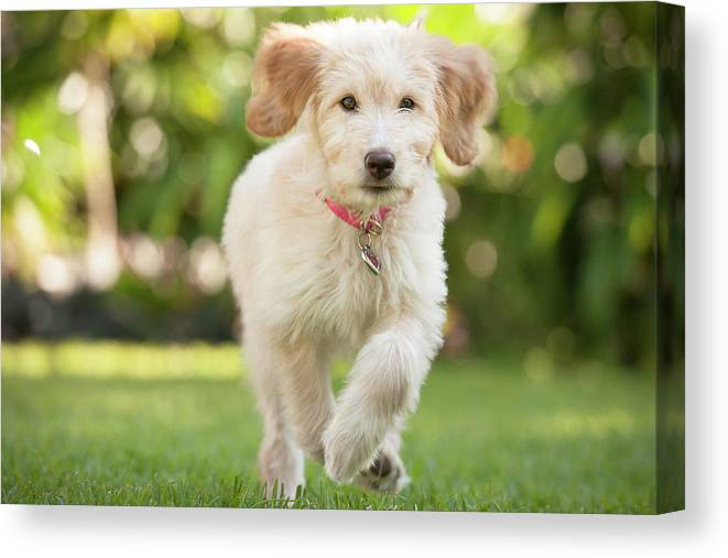 Pets Canvas Print featuring the photograph Puppy Running Through The Grass by Chris Stein