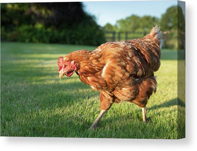 Grass Canvas Print featuring the photograph Red Warren Hen by Peter Chadwick Lrps