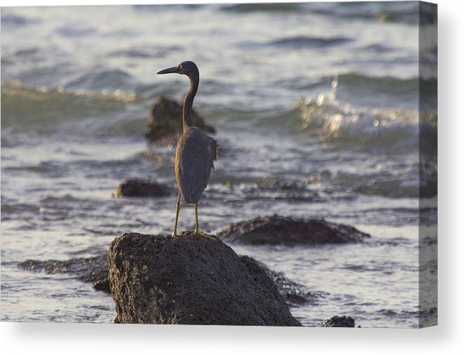 Reef Egret Canvas Print featuring the photograph Reef Egret by Douglas Barnard
