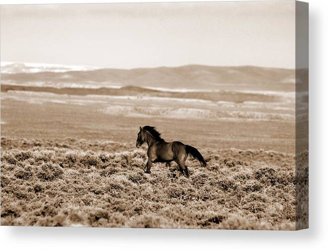 A Blm Mustang Runs In The Sand Wash Basin Near Baggs Canvas Print featuring the photograph Sand Wash Mustang by Lourie Zipf