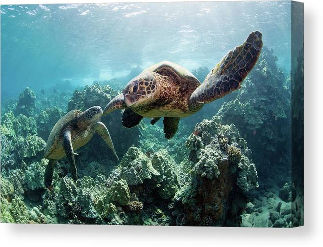 Underwater Canvas Print featuring the photograph Sea Turtles by M Swiet Productions
