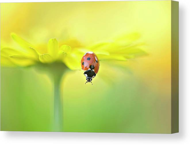 Buckinghamshire Canvas Print featuring the photograph Seven Spot Ladybird On Yellow Flower by Jacky Parker Photography