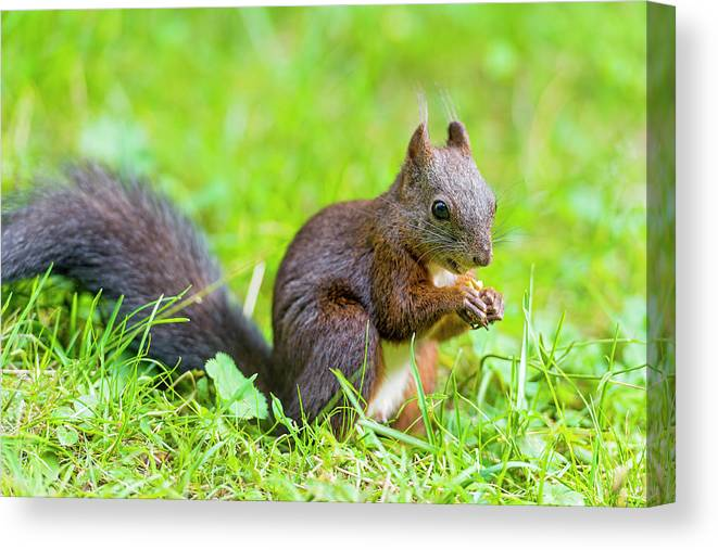 Nut Canvas Print featuring the photograph Squirrel Eating A Nut In The Grass by Picture By Tambako The Jaguar