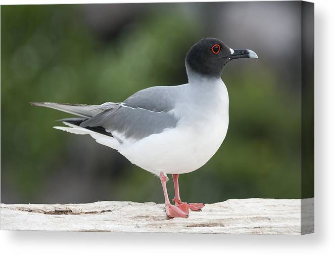 531756 Canvas Print featuring the photograph Swallow-tailed Gull Galapagos by Tui De Roy