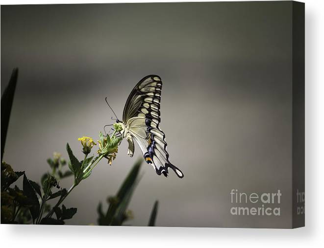 Butterfly Canvas Print featuring the photograph Swallowtail Butterfly 2014 by Linda Ebarb
