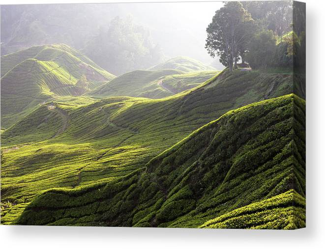Tranquility Canvas Print featuring the photograph Tea Estate by Daniel Osterkamp