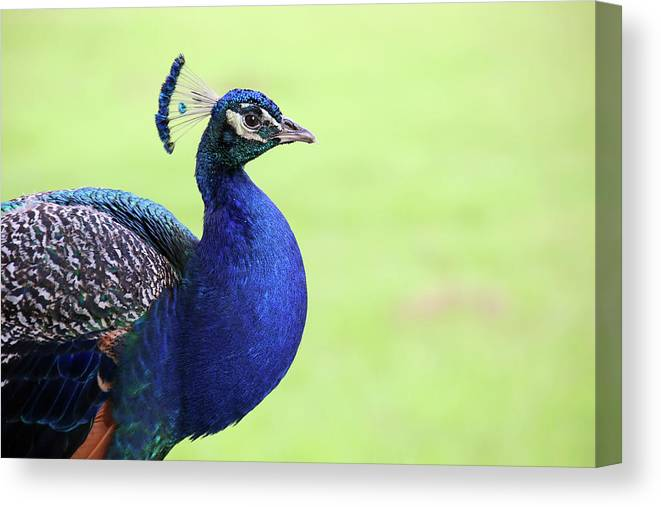 Indian Peafowl Canvas Print featuring the photograph The Profile Shot by Daniela Duncan