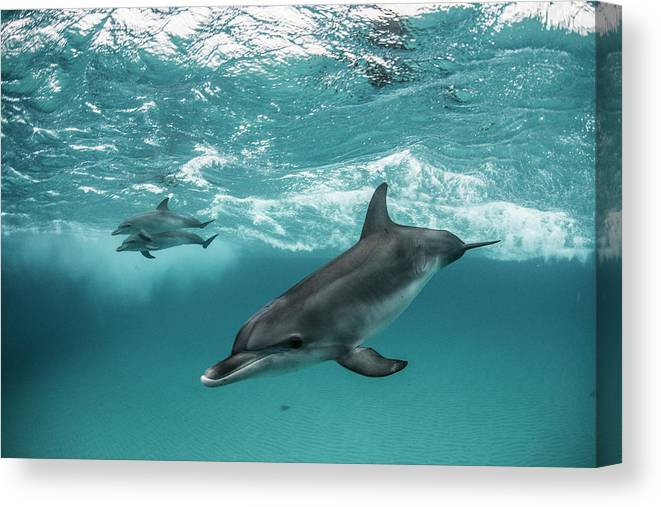 Tranquility Canvas Print featuring the photograph Three Atlantic Spotted Dolphins by Rodrigo Friscione